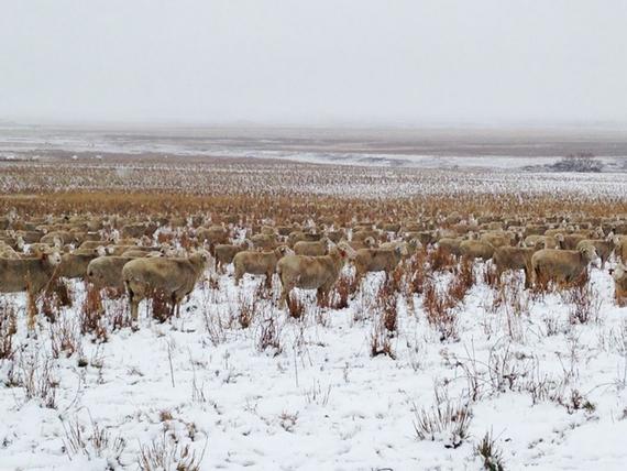 A bárányok messziről tökéletesen beleolvadnak a téli tájba.