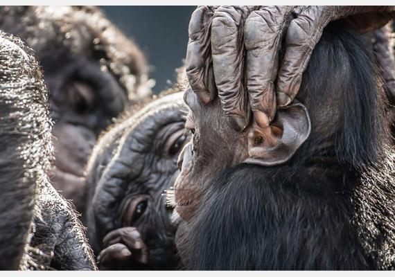 Bonobók kurkászás közben. A képet készítette: Graham McGeorge.