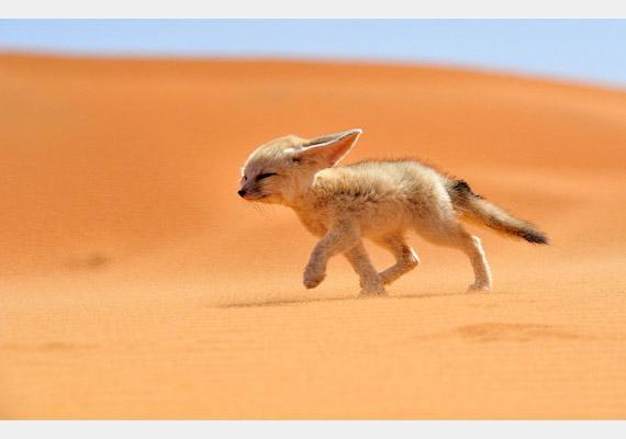 Magányos sivatagi róka sétál a széllel szemben Marokkóban. A képet készítette: Francisco Mingorance.