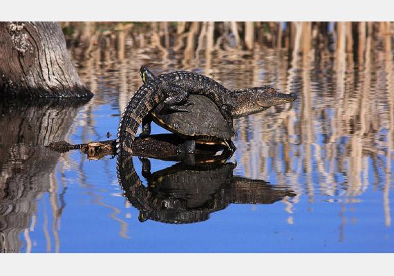 Első ránézésre csak az aligátor tűnik fel, de a képet alaposabban szemügyre véve jön a meglepetés: egy teknős hátán napozik. A képet készítette: Mary Ellen Urbanski.