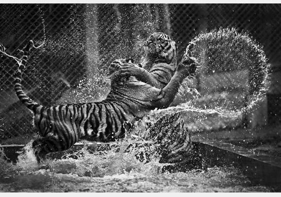 Két tigris játszik egy bangkoki medencében. A képet készítette: Daniel Sakal.