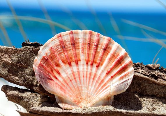 Még az is lehet, hogy igazgyöngyöt rejt a kagyló belseje. Kattints ide a nagy felbontású képért! »