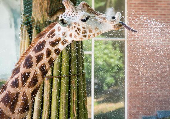 Az afrikai eredetű meleg levegő már Hollandiát is elérte. Az Ouwehands Állatkert dolgozói egy zsiráfot locsolnak.