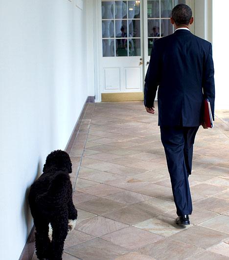 Bo, a család kutyájaObama és a család kutyája, Bo. Obama lányai nagy becsben tartják.
