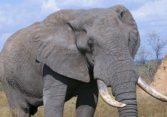 Az elefánt jámbor állatnak tűnik, ám párzási időszakban a hatalmas, megvadult hímek komoly veszélyt jelentenek. Évente átlagosan ötszázan halnak meg elefánttámadás következtében.