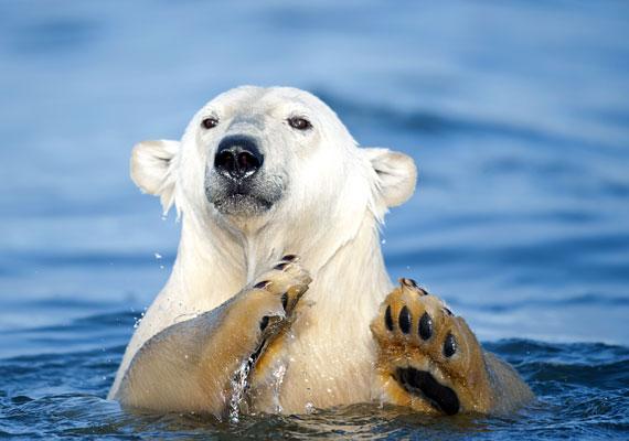 A puha plüssállatnak tűnő jegesmedvék inkább csak kíváncsiak, de élőhelyük beszűkülése miatt egyre éhesebbé és agresszívabbá válnak, így mostanra szinte minden évre jut néhány jegesmedve-támadás.