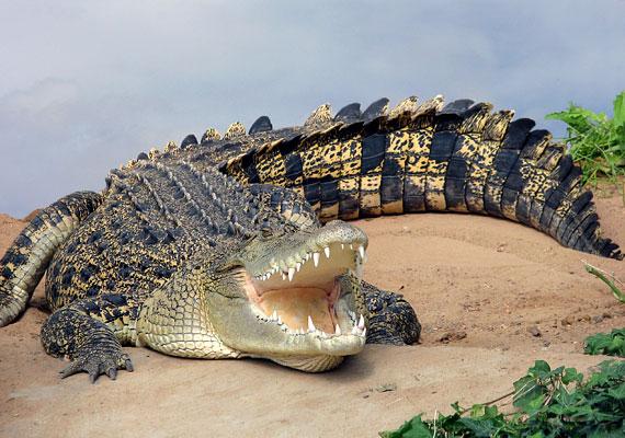 Ott, ahol az emberek máig a dzsungel szomszédságában élnek, évente nyolcszázan is életüket vesztik a krokodilok miatt.