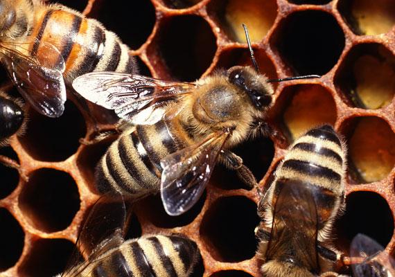 A méhcsípés, illetve az azt követő allergiás reakció évente körülbelül kétezer ember életébe kerül.