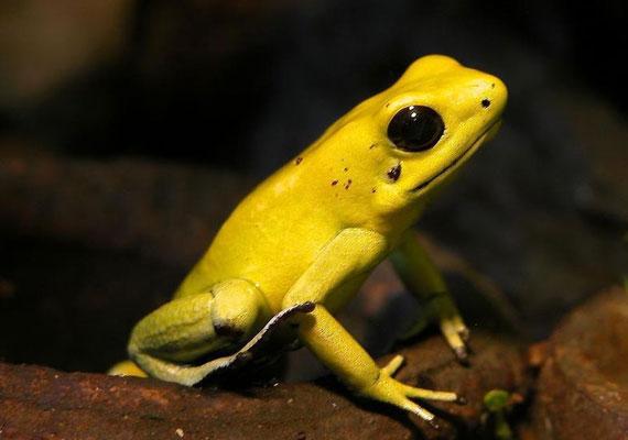 A nyílméregbéka apró, szép a színe, de, ha utadba akadna az egyébként Közép- és Dél-Amerikában őshonos állat, eszedbe se jusson hozzáérni: a bőre annyi mérget termel, amennyi tíz embert is képes lenne a túlvilágra küldeni.