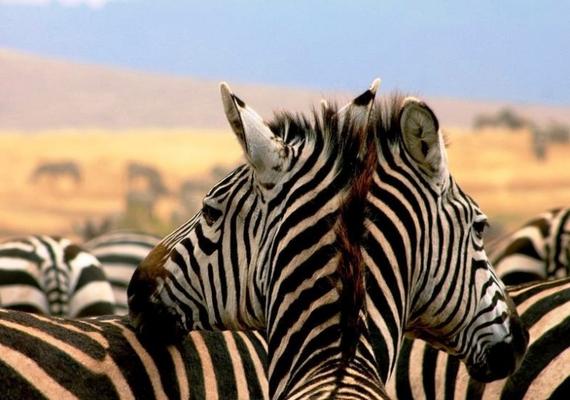 Láttál már kétfejű zebrát?