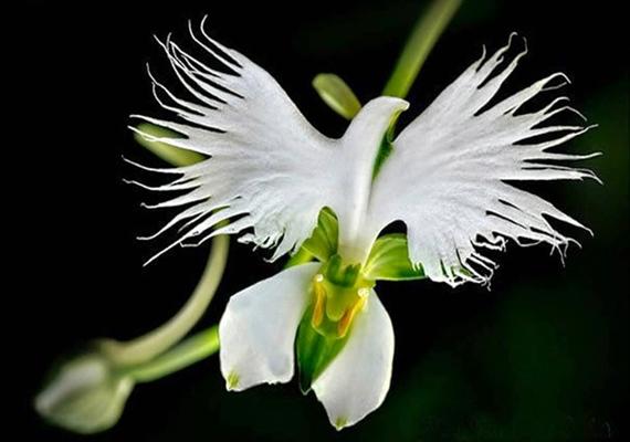 Mint egy szárnyait bontogató fehér kócsag, ez a Habenaria radiata.