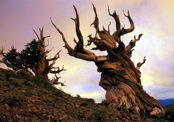 4845 éves az aszálkásfenyő, amelyet a Matuzsálem-fa nevet kapta. A kelet-kaliforniai Fehér-hegységben található fa korával kiérdemelte a ma ismert legidősebb élőlény címet, de védelme érdekében a pontos elhelyezkedését titokban tartják.