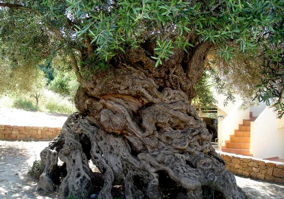 Hatalmas, göcsörtös törzse van akrétai olajfának, amely több mint háromezer éves. A fa még mindig termékeny, és a róla szüretelt olajbogyót aranyárban mérik.