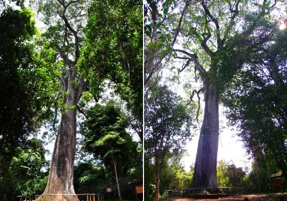 Szentnek tartják a Brazíliában élőPatriarca da Floresta elnevezésű fát, amely körülbelül háromezer éves, és a legidősebb lombhullató növény az országban.