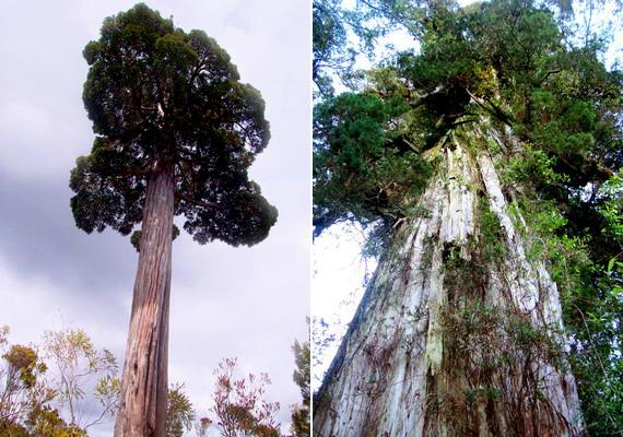 3640 éves a legidősebb ismert, a Fitzroya curessoides fajba tartozó fa, amelyek dél-amerikai gyűjtőneve az alerce, vagyis vörösfenyő. Feltevések szerint e faj egyedei élnek a második leghosszabb ideig.