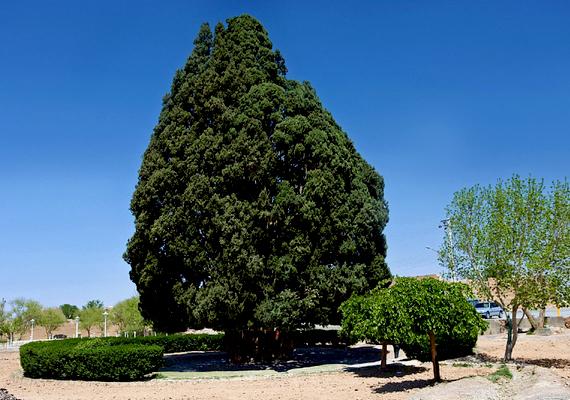 Iránban található a világ második legöregebb fája, a Sarv-e Abar-Kuh. A 25 méter magas növény a becslések szerint körülbelül négyezer éves, és valószínűleg Ázsia legidősebb élőlénye.
