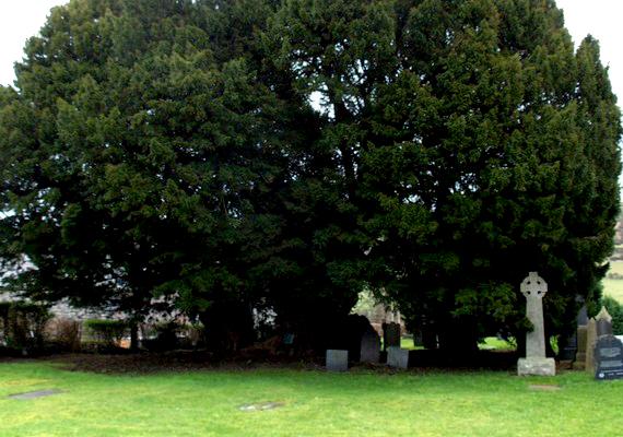 A llangernywi tiszafa Észak-Walesben található egy templom udvarán. Életkora szintén négyezer év körüli, és a terebélyes növény még mindig növekszik.