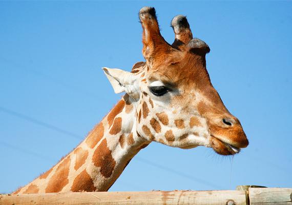 Nagy felháborodást váltott ki a koppenhágai állatkertben kivégzett zsiráf, Marius esete, de kiderült, évente körülbelül háromezer-ötezer fogságban élő állatot altatnak el, lőnek le az európai állatkertekben. Ezt Leslie Dickie, az Európai Állatkertek és Akváriumok Társaságának - EAZA - vezérigazgatója árulta el. Ha többre is kíváncsi vagy, kattints ide! »