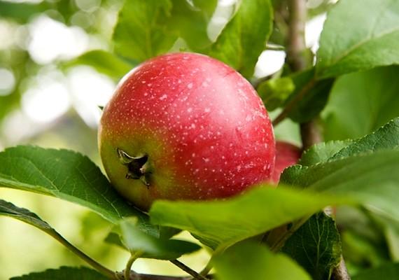 Az alma rágcsálása a fogkővel is felveszi a harcot, és az ételmaradékokat is kitisztítja a fogak közül.