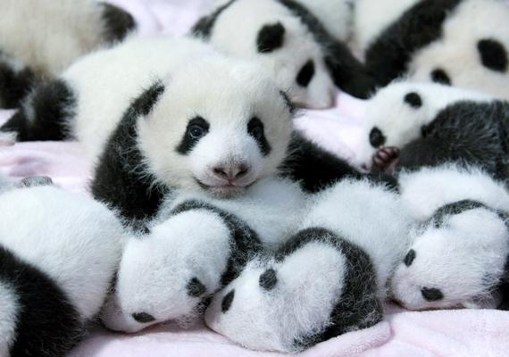 Az újszülött pandákat sem különítik el idősebb társaiktól, hiszen nem jelentenek veszélyt egymásra.