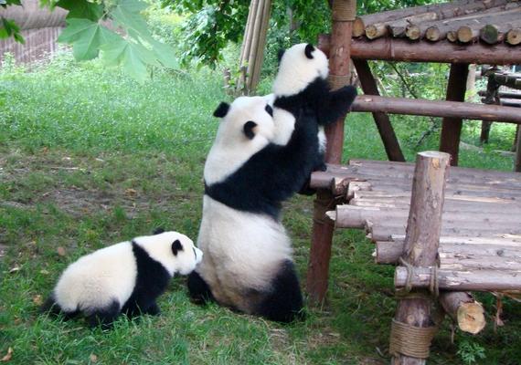 A pandamama úgy gondoskodik a gyerekéről, akár egy ember.