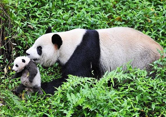 Hét hónapos korukban a kölykök a pandaóvodába kerülnek, ahol teljes körű gondoskodás mellett felkészítik őket a felnőtt életre a vadonban.