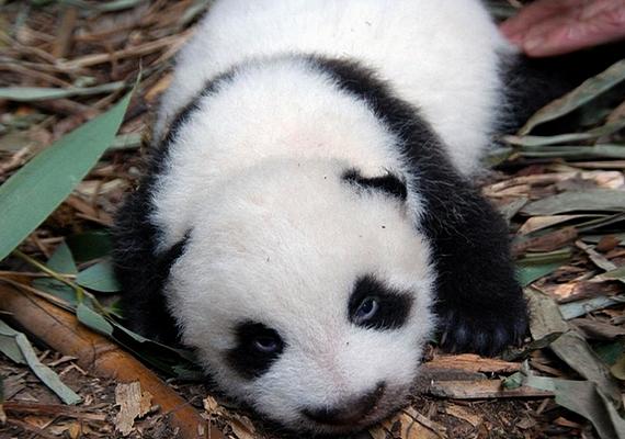 A munkamegosztás azonban nem zajlik egyszerűen, a gondozók ugyanis kétnaponta kicserélik az ikreket a pandák kifutójában, hogy az anya felváltva táplálhassa mindkét kölykét.