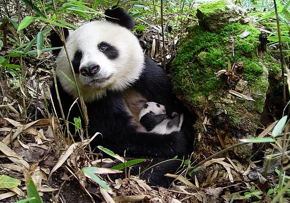 A pandatelep és pandaóvoda mára turistalátványossággá vált. A látogatók elől lezárt területeken mindeközben azonban komoly és összehangolt munka folyik.