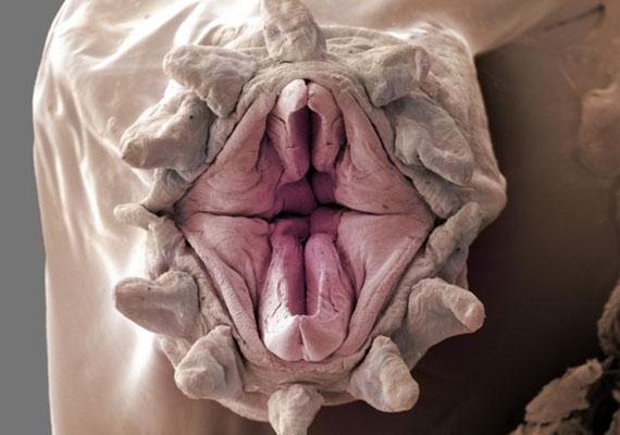 A soksejtrétűek képesek kifordítani a szájukat, hogy könnyebben elkapják a zsákmányukat.