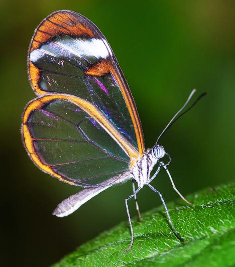 Mi a különbség a pillangók és a lepkék között? A pillangók a lepkék egyik családja, azaz minden pillangó lepke, de nem minden lepke pillangó. Általánosságban a pillangók a legnagyobb és leglátványosabb nappali lepkék: nagy-, ritkábban közepes termetűek, színesek.