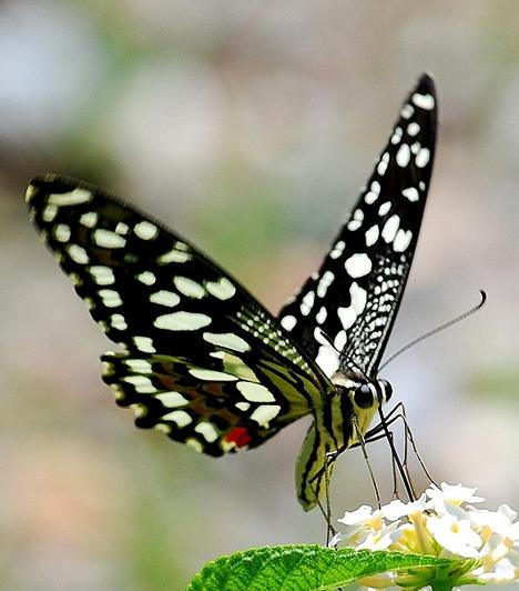 A kínai hagyományban a halhatatlansággal áll összefüggésben, mivel a taoizmus a szárnyakat az öröklét kifejeződésének vélte. A kínai ábrázolásokon a feminin virágon és gyümölcsön ülő pillangó maszkulin jelkép, a szerelmes férfit szimbolizálja.
