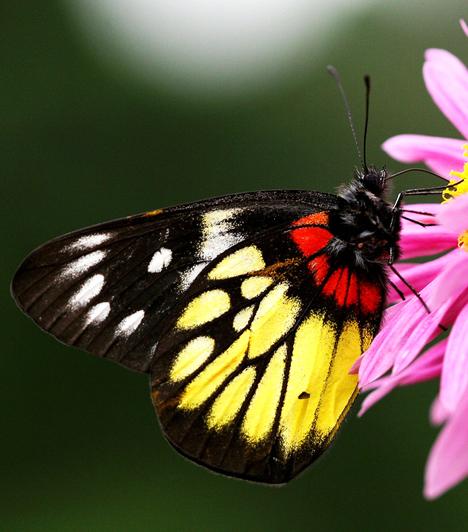 A pillangó számos irodalmi műben megjelenik. Legismertebb talán Henri Charrière Pillangó című regénye, mely egy ártatlanul fogva tartott rab szökéséről szól. A történetből sikeres film is készült.