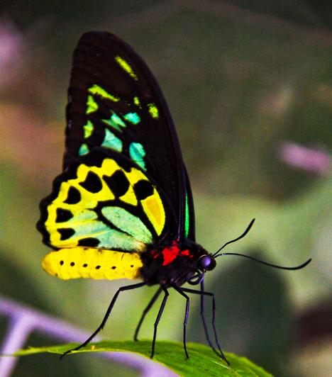 Ha pillangókkal álmodsz, az az álmoskönyv szerint könnyedséget, vidámságot és tervszerűtlenséget jelent, azt jelzi, hogy a mának élsz. Ha egy lepkét megfogsz: egy váratlan körülmény több komolyságra kényszerít.