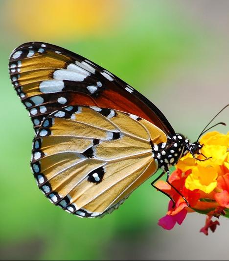 Díszes szárnyai révén a szépség, átváltozási fázisai, valamint csapongó repkedése miatt a lélek szimbóluma a lepke. Negatív értelemben a gyors mulandóságra ítélt hiú pompa, és mivel a fény és a láng felé vonzódik, az önpusztítás megtestesítője. Hernyó-, majd bábállapotból való kibontakozása a halott testből felröppenő lelket jelenti számos nép hitvilágában.