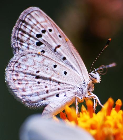 Ha szeretnéd természetes körülmények között megcsodálni a lepkéket, látogass el a Fővárosi Állat - és Növénykertbe, ahol nyáron a lepkeházban közel 45 lepkefaj hatszáz egyedét csodálhatod meg. A pillangók mindegyike trópusi faj, Közép-Amerika és Délkelet-Ázsia a természetes lakóhelyük.