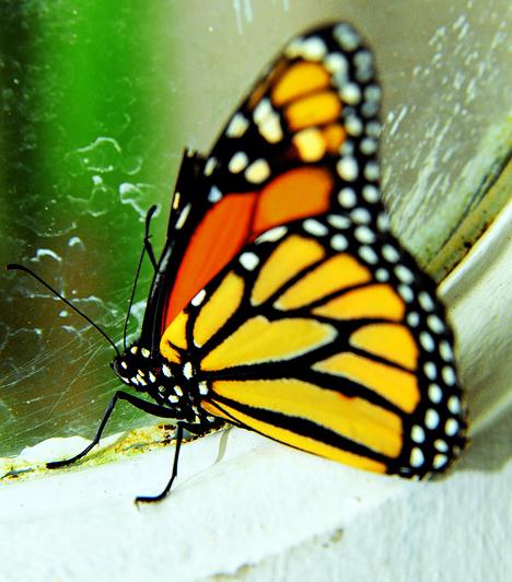Az ősmaradványok vizsgálata kimutatta, hogy már 140 millió évvel ezelőtt is léteztek primitív éjjeli lepkék, a nappali lepkék csak körülbelül 40 millió éve vannak jelen a Földön. Tudományos elnevezésüket a görög lepidoptera szóból kapták, ami szárnyat, pikkelyt jelent.