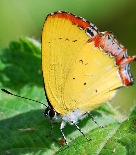 Testüket szőrök és pikkelyek borítják - ez a hímpor. Elnevezésük is innen ered: a Lepidoptera szó jelentése pikkelyes szárnyú. A pikkelyekben találhatóak a különböző alakú kutikuláris képződmények: ezekben a pigmentek változatos kémiai színeket eredményeznek, a pikkelyek finom lemezes vagy rácsos szerkezete pedig formákat hoz létre.