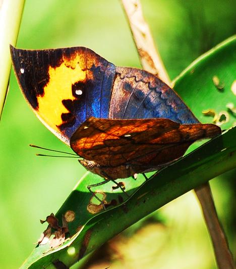 A pillangó Japánban a gésák jelképe is. Ezért adhatta Giacomo Puccini a Pillangókisasszony címet három felvonásos operájának, melyben egy gésa, Cso-cso-szán viszontagságos életét vitte színpadra.