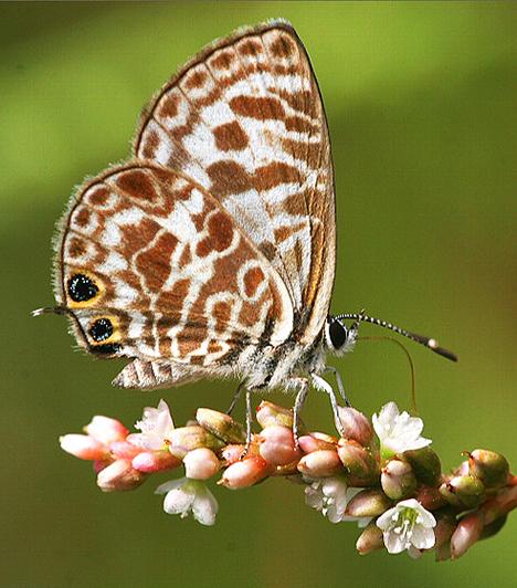A pillangók mérete meglehetősen változatos: a kifejlett példányok szárnyainak fesztávolsága néhány mm-től 30 cm-ig terjed. A legnagyobb pillangó az Alexandria Királynője: Pápua Új-Guineában él, szárnyfesztávolsága elérheti a 28 cm-t is.