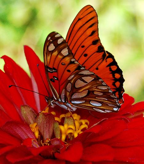 A lepkéket szépségük miatt gyűjtik is, majd preparálják őket. Ilyen pillangógyűjteményeket nézhetsz meg Budapesten az Újpesti Lepkemúzeumban, illetve szabadtéren, az Eger melletti Bogácson is.