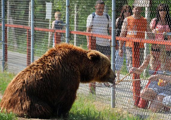 Putyin szereti a vadont, legalábbis legismertebb fotóin általában a tajgán vagy a hegyekben tekint a távolba. Az orosz elnököt kapták már le pecázáskor, lóháton, de mentett már tigrist is. Magyarországon a veresegyházi medveotthonban nyújthatna át némi mézet a rácsokon az országa egyik jelképének számító állatnak.