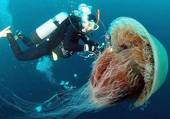 Elsőre azt hiheted, egy ilyen felvétel csak valami trükk segítségével készülhet - például a búvár sokkal távolabb helyezkedik el a kamerától, ettől tűnik ilyen óriásinak a medúza. Pedig a Nomura medúza - Nemopilema nomurai - akár kétméteresre is megnőhet.