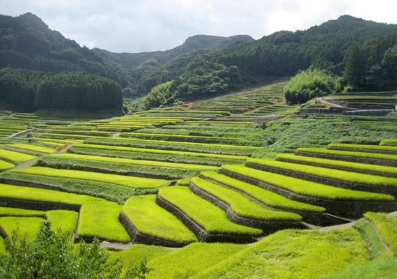 A kikelet után a rizs puha, zöld szőnyegként fedi a teraszokat.