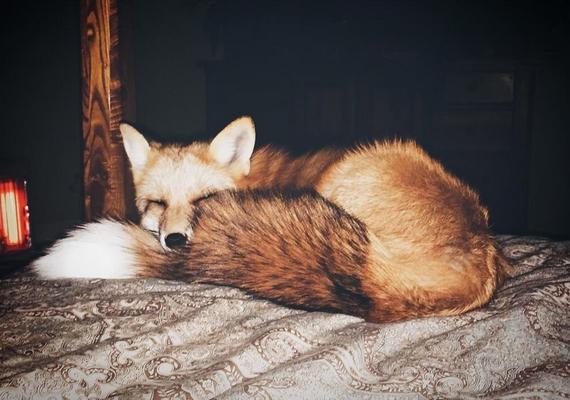 Az állat szelídsége sok munka és odafigyelés eredménye, és a rókát hatalmas felelősséggel jár a lakásban tartani, bármennyire cuki is legyen.
