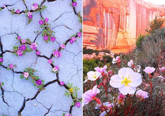 A gyönyörű virágok csak néhány óráig pompáznak, utána elszáradnak.