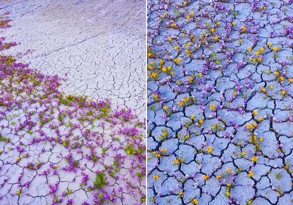 Az esőzés után a repedésekből csodaszép, apró virágok bújnak elő.