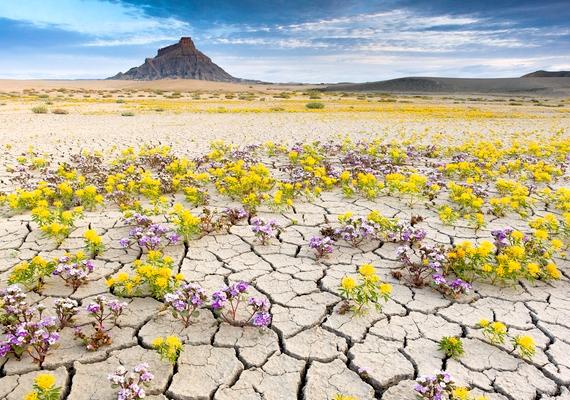 Nagyrészt lila és sárga szirmok lepik el a mindig száraz sivatagot.