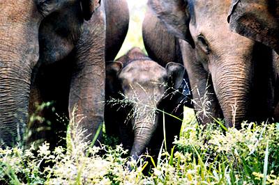 Pazar körülményeket biztosít Srí Lanka az itt élő elefántcsordáknak.