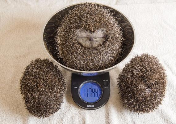 Jabba 1 kiló 744 grammot nyom. A sünit hamarosan diétára fogják, mert már annyira kövér, hogy nem tud összegömbölyödni sem.