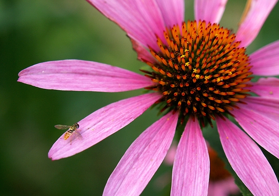 A kasvirág, vagyis echinacea cseppjei is megfelelnek a célnak: oldj fel néhány cseppet két teáskanál vízben, és öblögess!